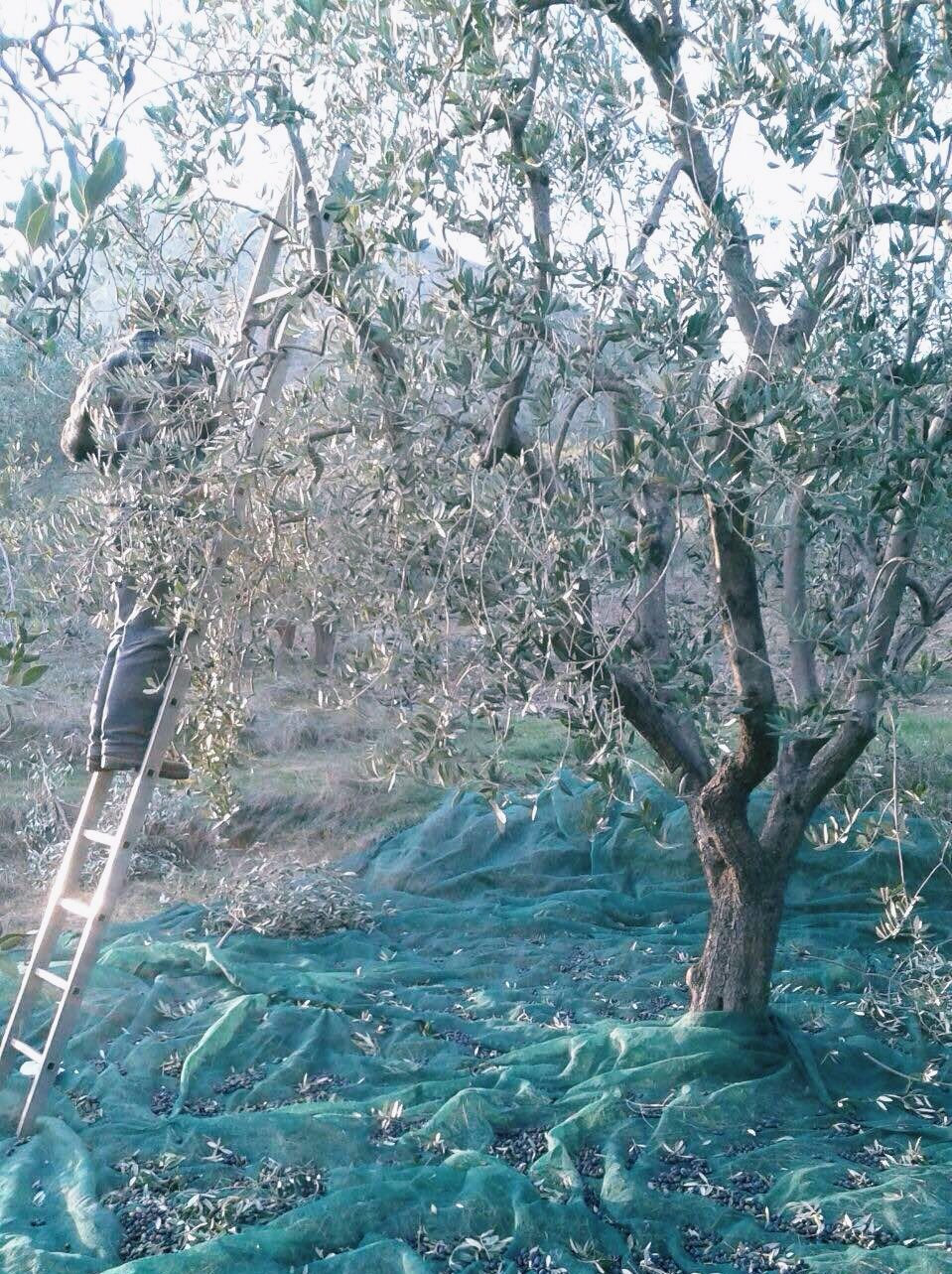 Olives are hand harvested