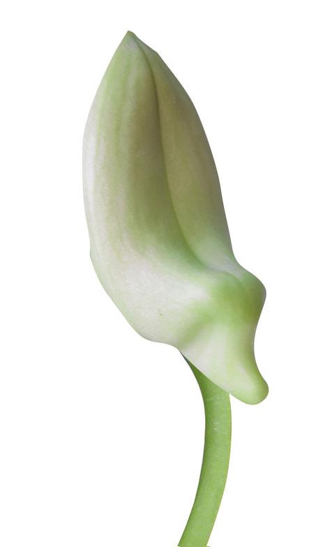 crocus-bud