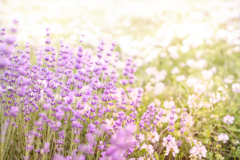 dreamstime_lavender.jpg