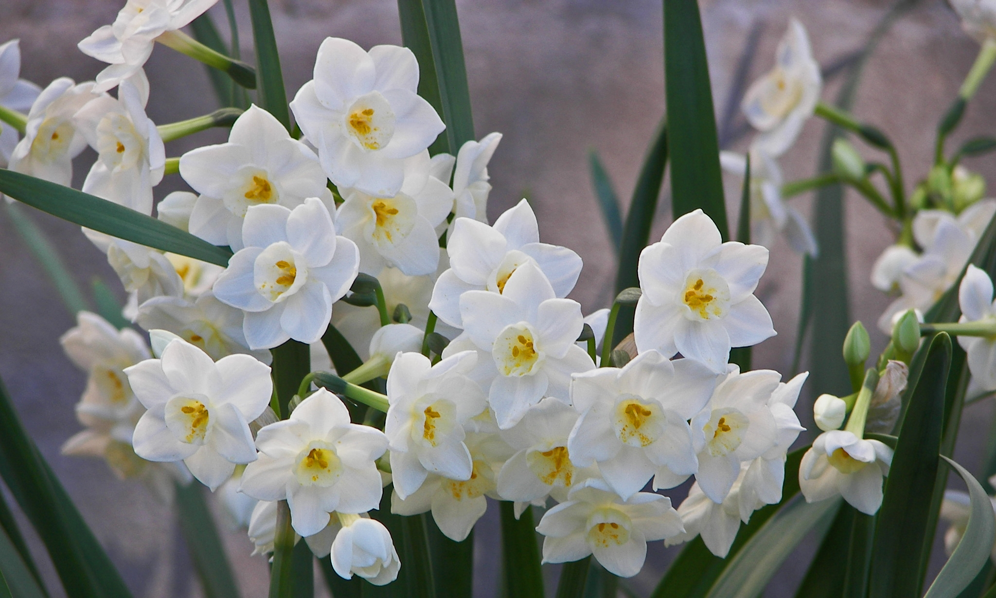 24b-PaperwhitesNarcissusTagettaGrandPrimo-JANUARY.jpg