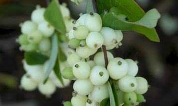 snowberries.jpg