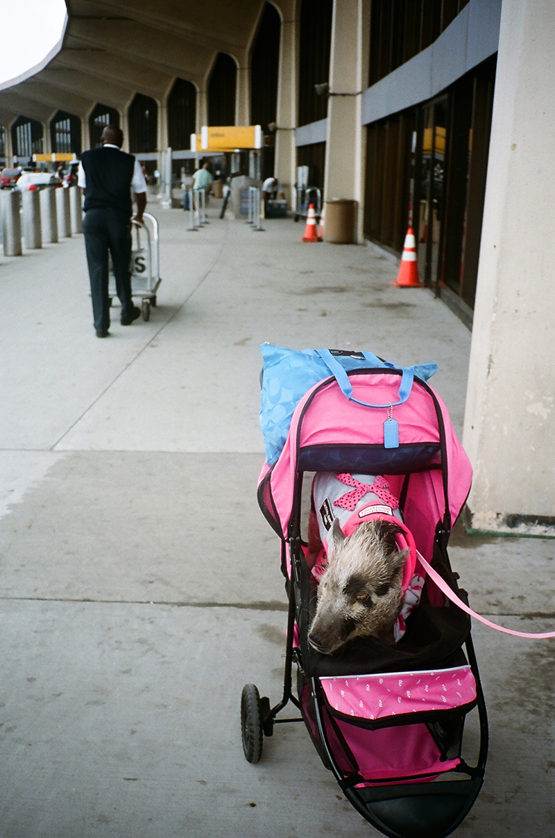 Pig at airport in stroller.2.jpg