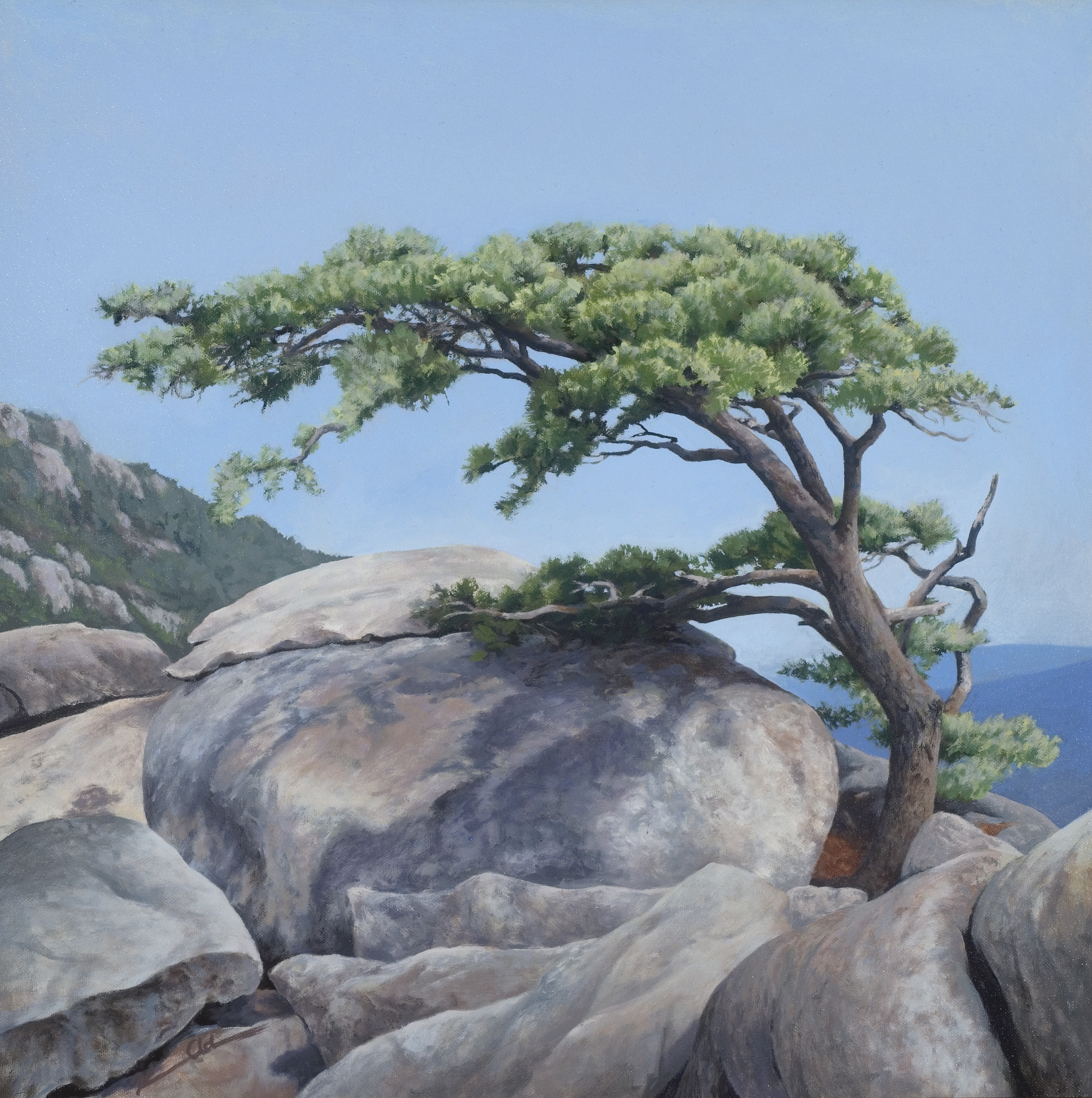 Old Rag Pine 24 X 24 oil on canvas (sold)
