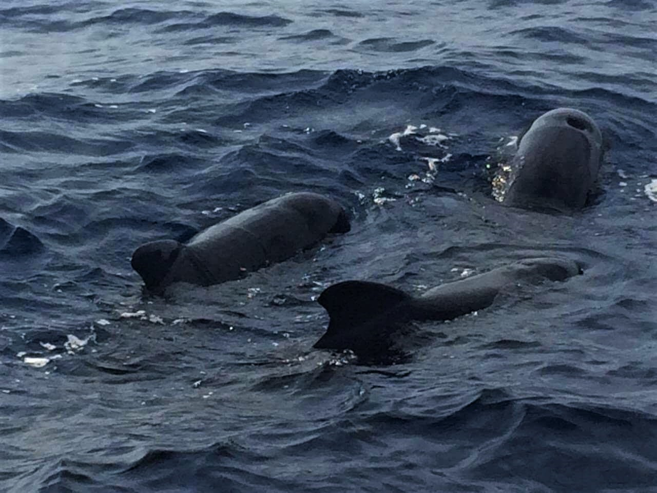 What a delightful sight, three pilot whales bask alongside the boat
