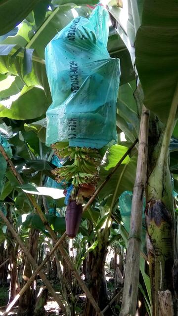 Banna Farm 3.png