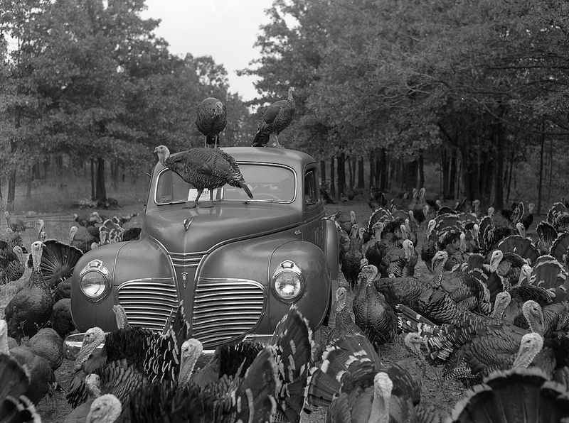 A rafter of turkeys surround car in field.Circa 1955.Turkeys (Missouri State Archives) Collection Name: Commerce and Industrial Development Collection. Photographer/Studio: Massie, Gerald R.Coverage: United States - Missouri - Miller County - Eldon.