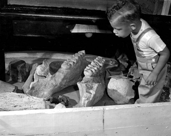 Boy looking over mastodon teeth at Mulberry Phosphate Museum. Date: April 1947.From the State Library and Archives of Florida,Department of Commerce Collection.