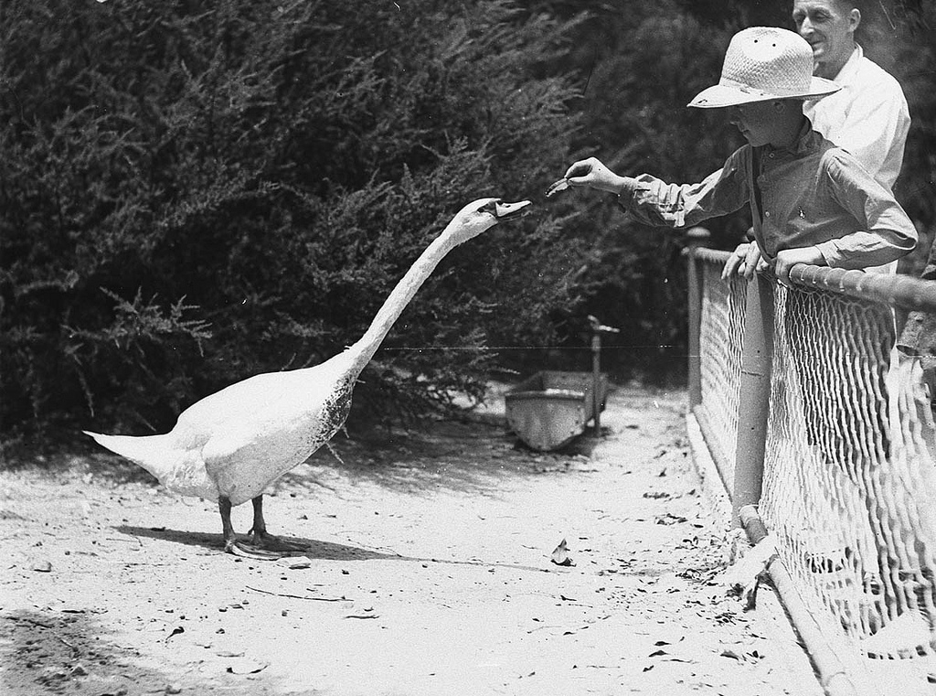 """""""Far West boy feeds a swan"""" in Taronga Park Zoo, Sydney. January 2, 1935. Photo by Ted Hood from the State Library of New South Wales. Format: Glass photonegative"""