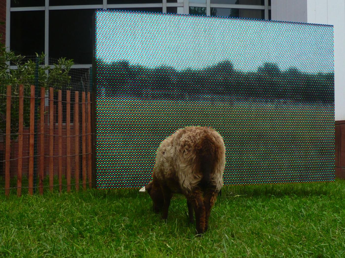 Shetland ewe grazing pasture site , spring 2010