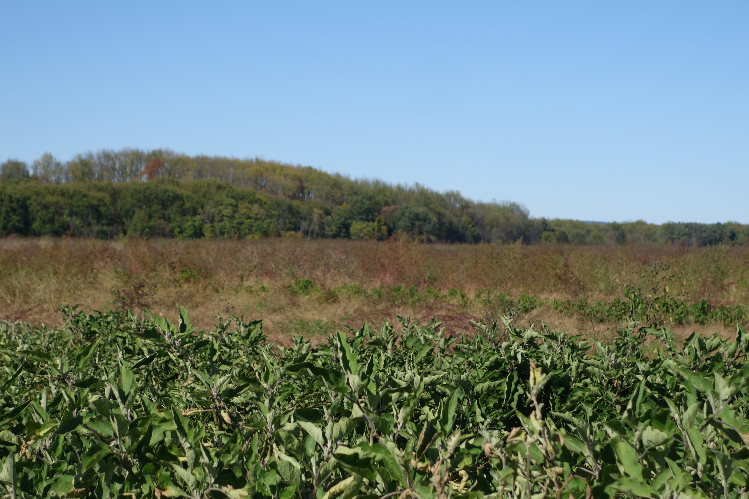 One of the fields at Bracco Farms, Pine Island NY in the late summer.