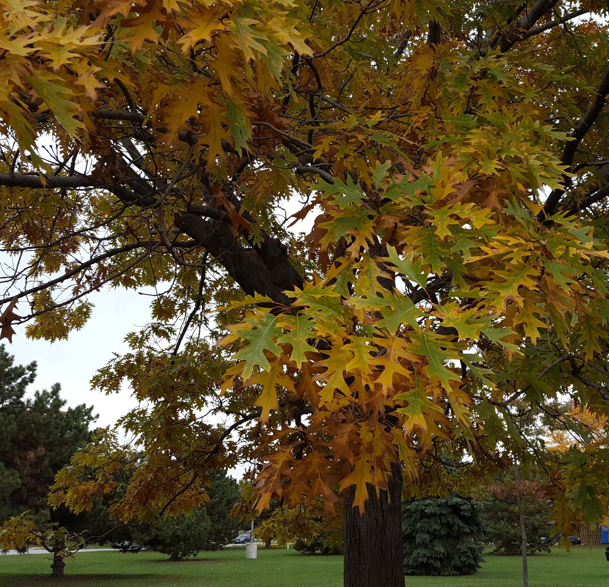 One of my favourite trees ....soon the leaves will fall but for now it is just so beautiful....
