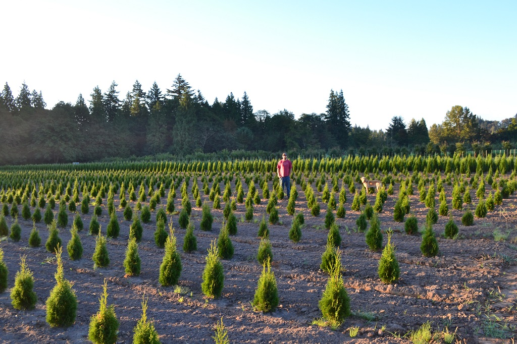 Emerald Green Arborvitae   Thuja Occidentalis Smaragd  Lars is out standing in his field, Spring 2014.