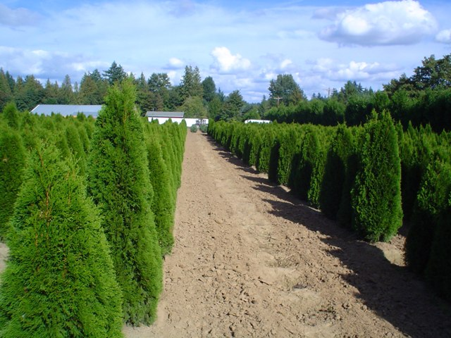 Emerald Green Arborvitae   Thuja Occidentalis Smaragd  Granstrom Evergreens Arborvitae back in 2005.