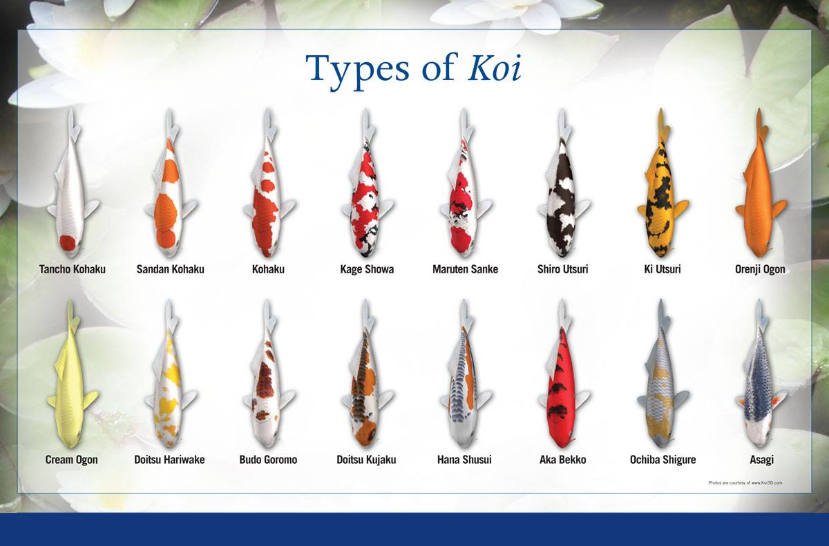What types of Koi do you have or want for your pond? Koi can become members of your family and their personalities shine brighter than their scales!