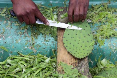cutting-nopales-mexico.jpg