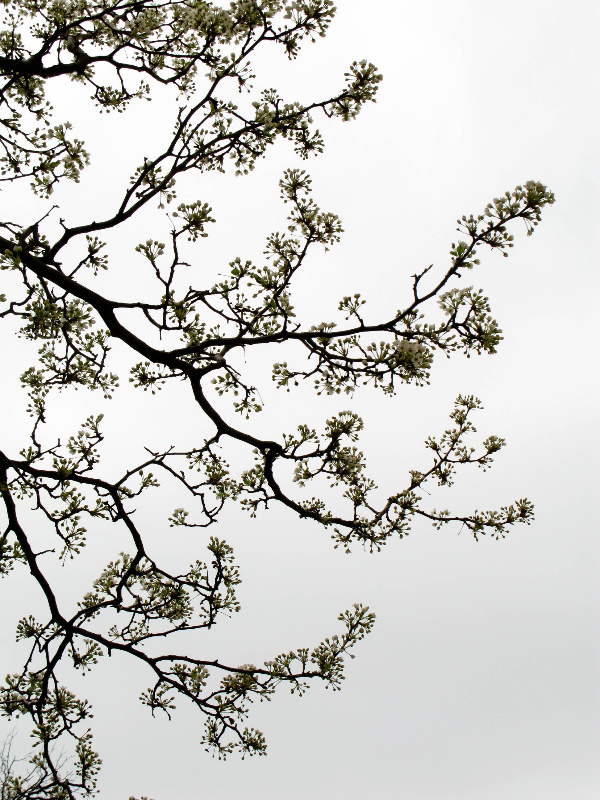 cherry-blossoms_3413889872_o.jpg