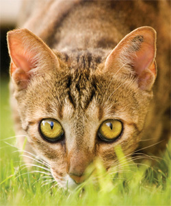 Ear Tipped Feral Cat