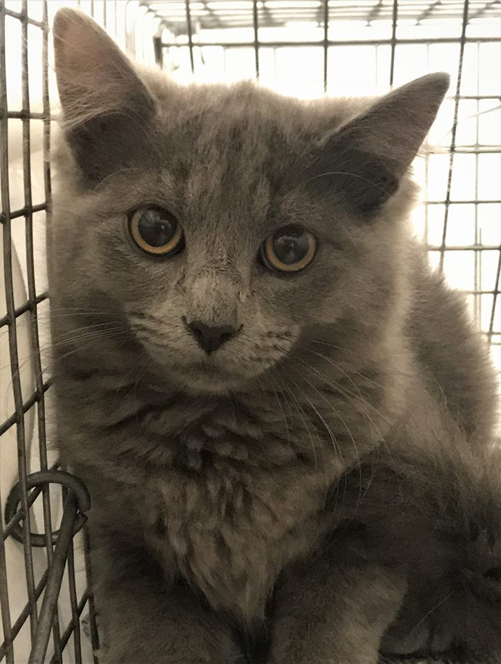 Meet Grey from Oregon City, OR. He is cared for by Jewel. Grey was brought in today along with him mom and two other siblings. Jewel first noticed the three kittens with their momma about a month ago. She knew she had to make an appointment for them all as soon as possible. She is happy to have them all back to continue caring for them and to end the breeding cycle. Purrs of thanks to Jewel for caring for feral cats!