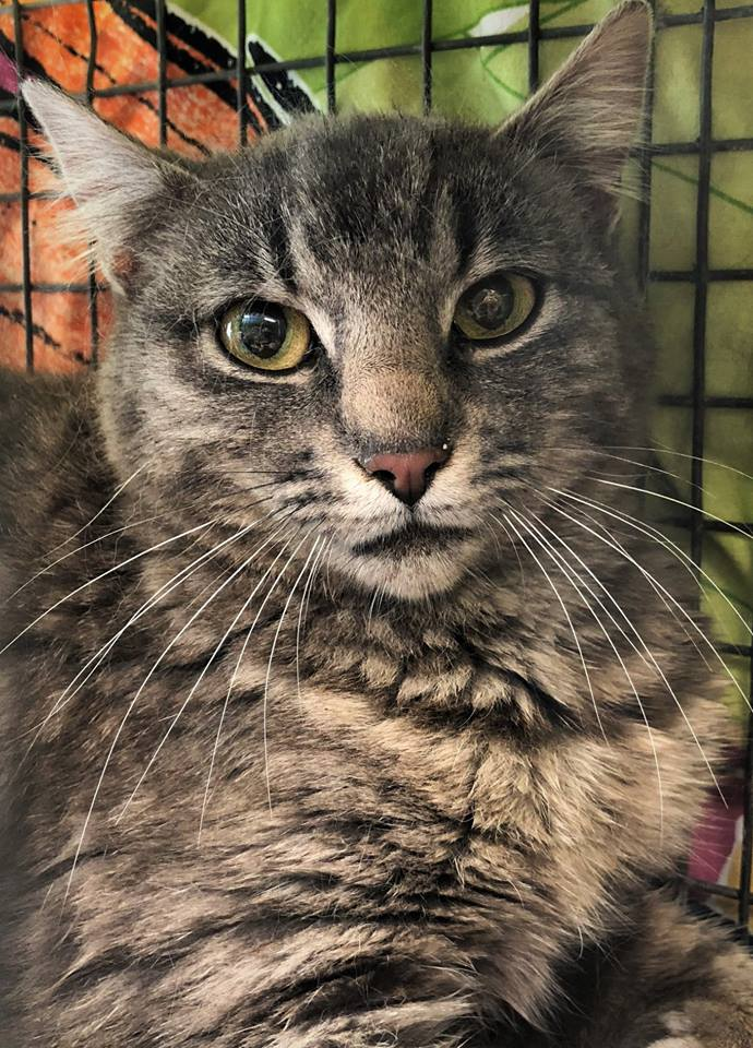 Meet our beautiful cat of the day, Bobby! She came to FCCO all the way from Timber, OR. Her caregiver Linda noticed quite a few new kitties in her area but had no idea where they came from. When she realized the number of cats on her property started to grow rapidly she knew she had to do something to stop the breeding cycle. FCCO spayed/neutered and vaccinated 16 cats from Linda's colony and we'll be seeing the remainder of her colony soon! Purrs of thanks to Linda for caring for feral cats!