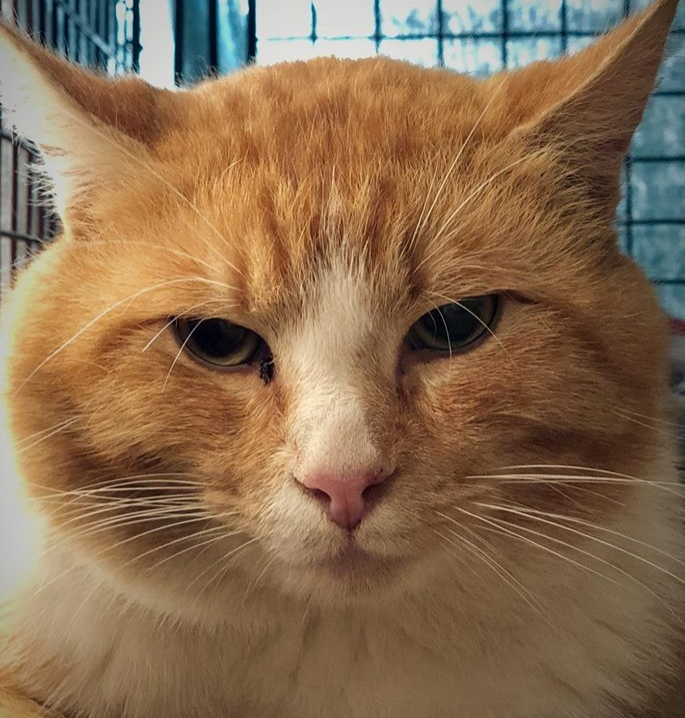 Meet 50/50 from Damascus, OR! He's cared for by Brenda who had gotten all of the ferals she feeds spayed/neutered years ago through FCCO. A couple of months ago a neighbor told Brenda they had seen an orange kitty in her driveway. Brenda knew this kitty wasn't one of the cats she'd already gotten spayed or neutered before as none of them were an orange color! As 50/50 started coming around more regularly, he became aggressive with Brenda's other feral cats and she knew it was time to get him in to FCCO for his neuter. Purrs of thanks to Brenda for caring for feral cats!