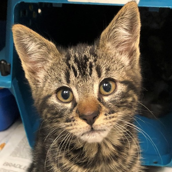 Meet FCCO's 99,000th Cat! - Half Pint is one kitten of a litter of four that was born on Mary's property in Welches, Oregon. The story begins with a litter of kittens that Mary saw in November of last year...she named them One, Two and Three. She realized after getting One, Two and Three spayed/neutered that she had missed a cat! This cat became known as Four. Four was elusive and Mary just couldn't trap her. Eventually, Four gave birth to Half Pint and his three siblings. Mary finally trapped Four and was able to get her spayed last week, and now Half Pint and his siblings are all spayed/neutered, too! Purrs of thanks to Mary for caring for feral cats!