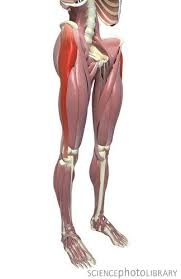 Tensor Fascia Latae muscle and the Iliotibial Tract is highlighted.Photo by: https://www.flickr.com/photos/fickleandfreckled/