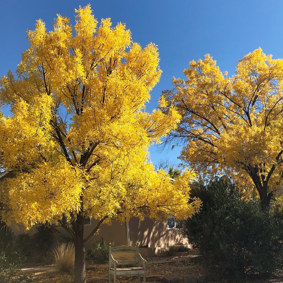 Golden Trees.JPG