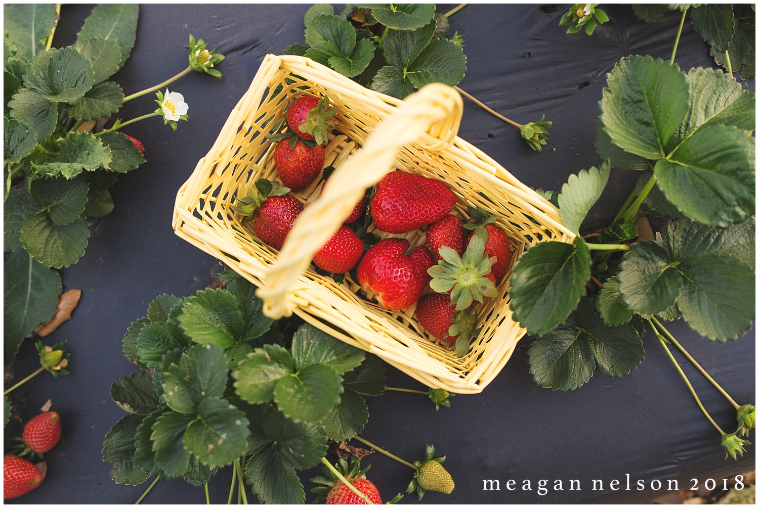 strawberry_patch_session_fort_worth_photographer02.jpg