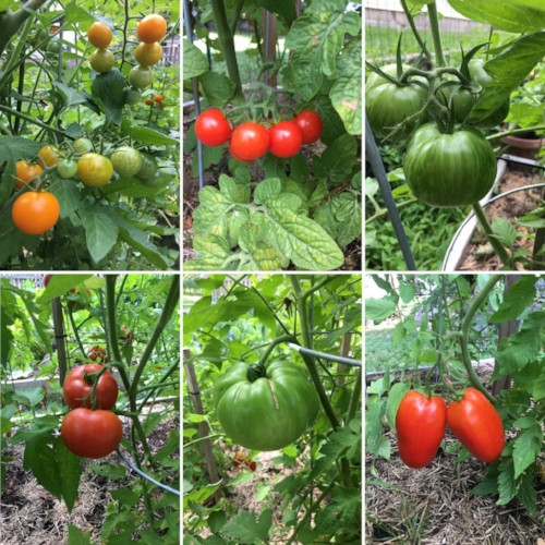 tomato collage.jpg