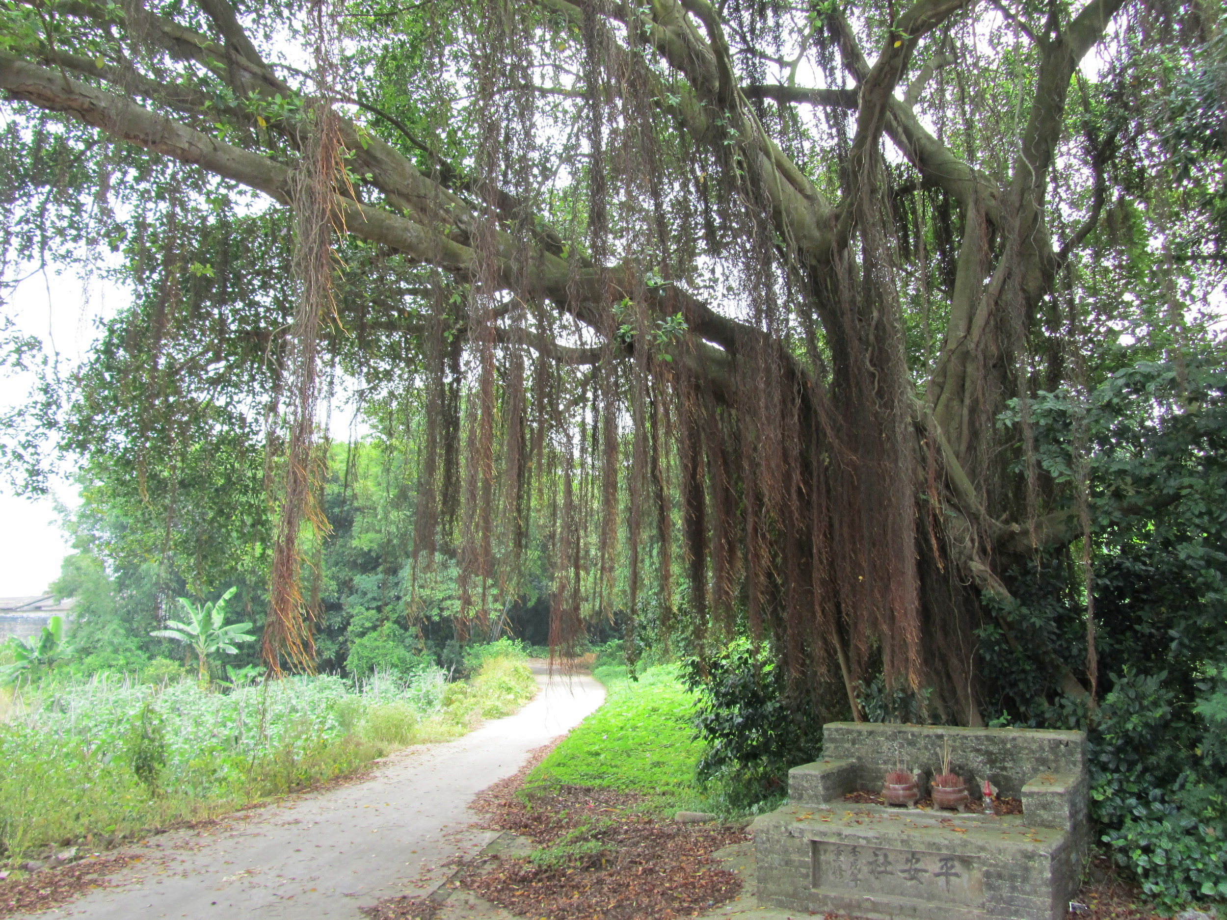The hundred year old banyan tree at the entrance of the village.