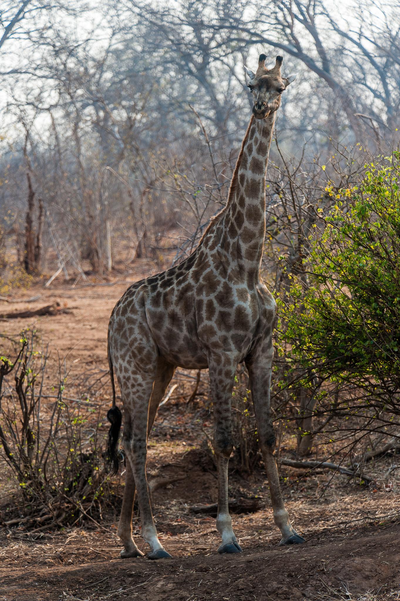 Giraffe, Chobe NP, Botswana