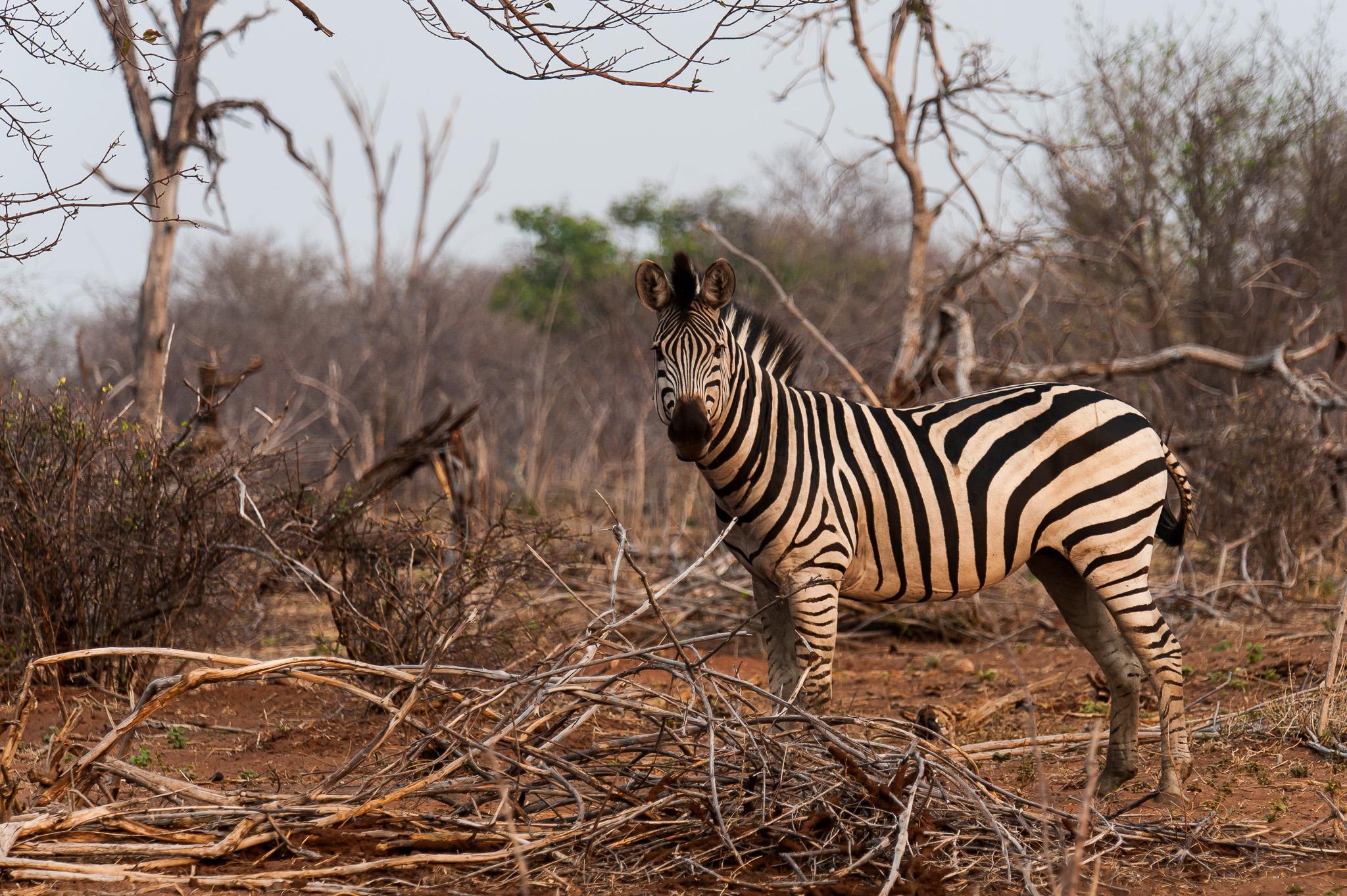 Zebra, Chobe NP, Botswana