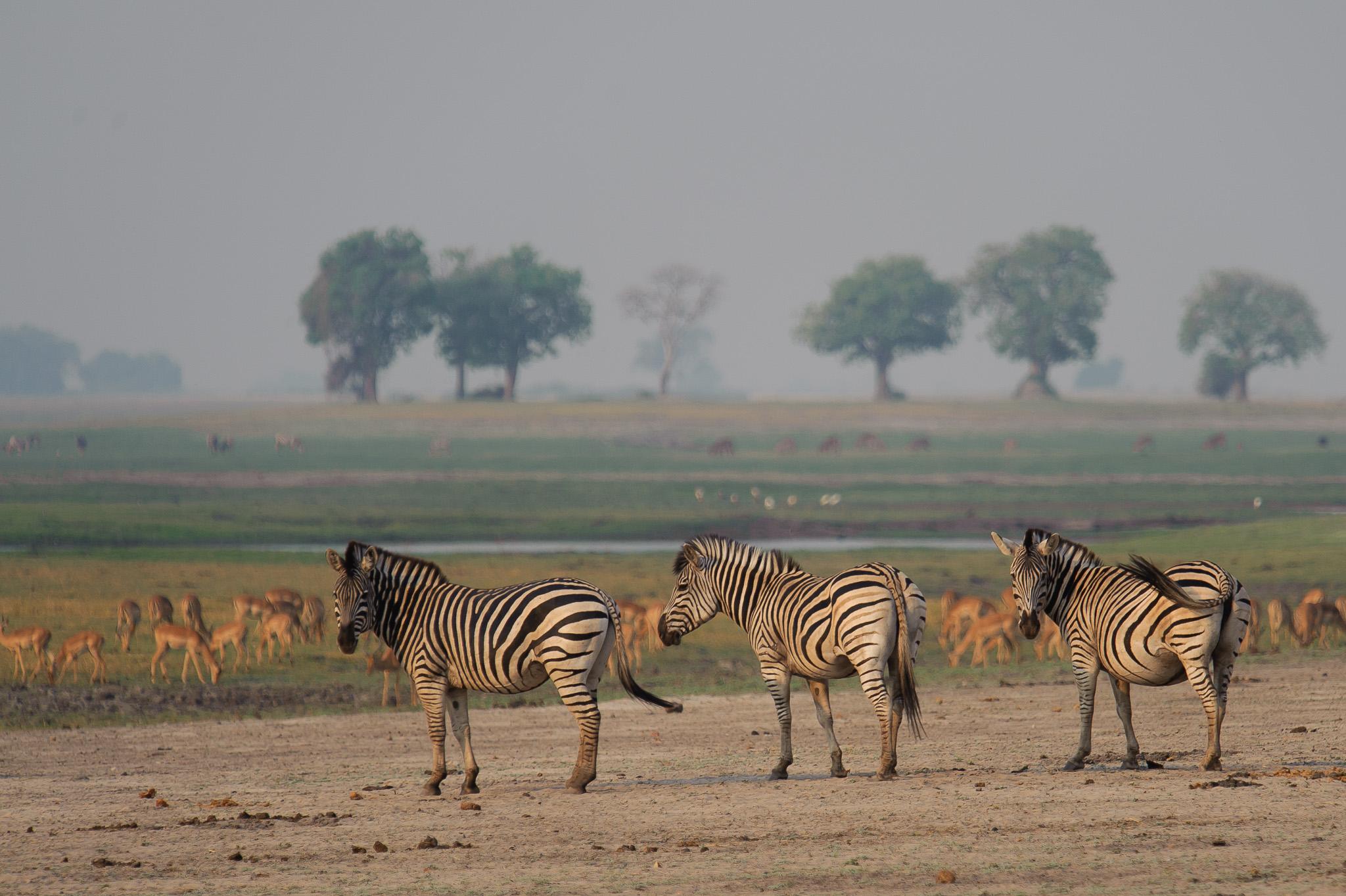 Zebras, Chobe NP, Botswana