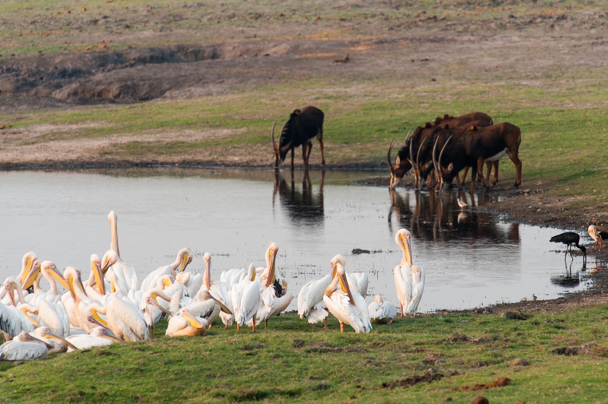 Pelicans and Sable Antelopes, Chobe NP, Botswana