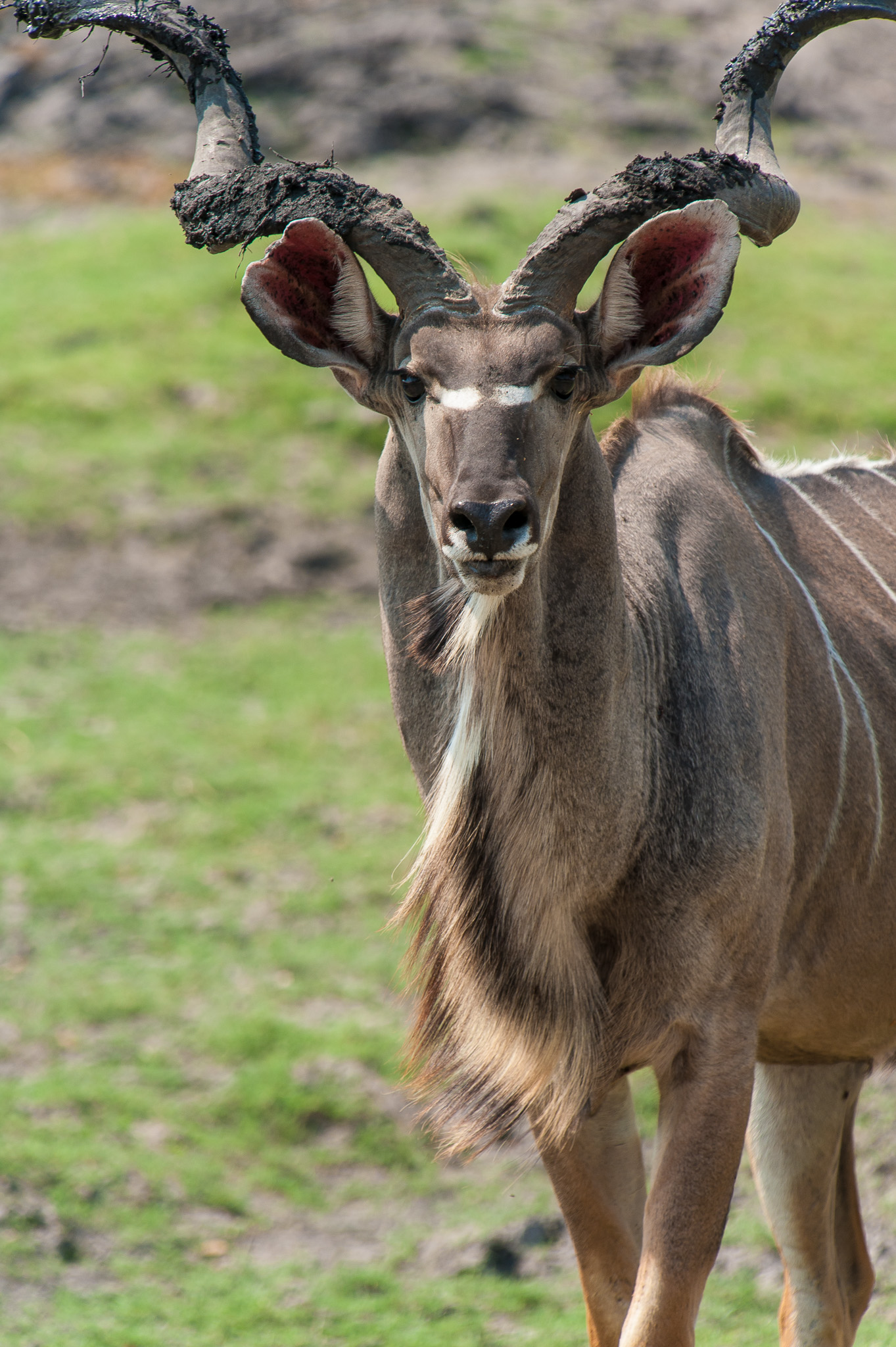 Male Kudu, Chobe NP, Botswana