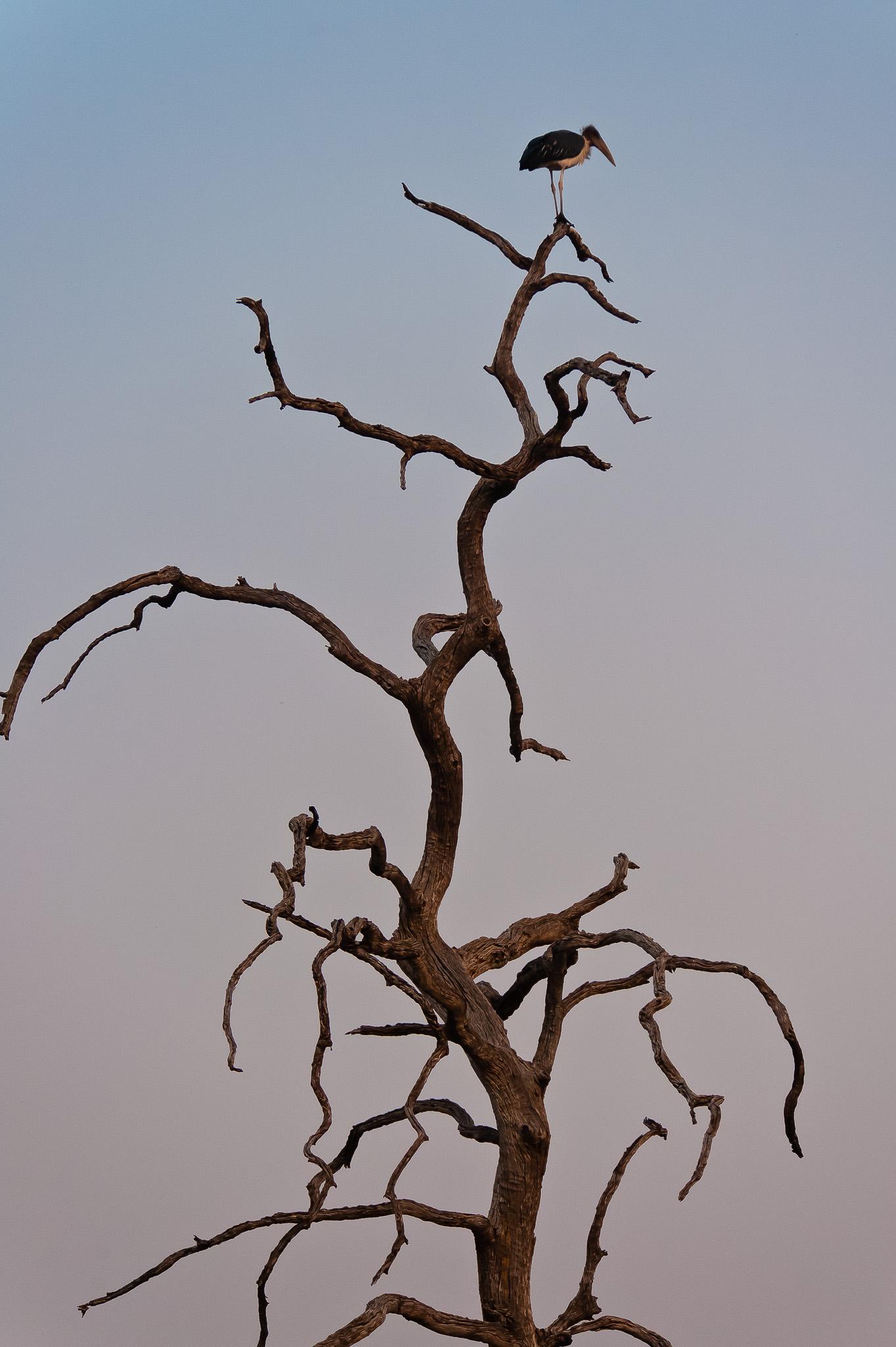 Marabou Stork, Chobe NP, Botswana