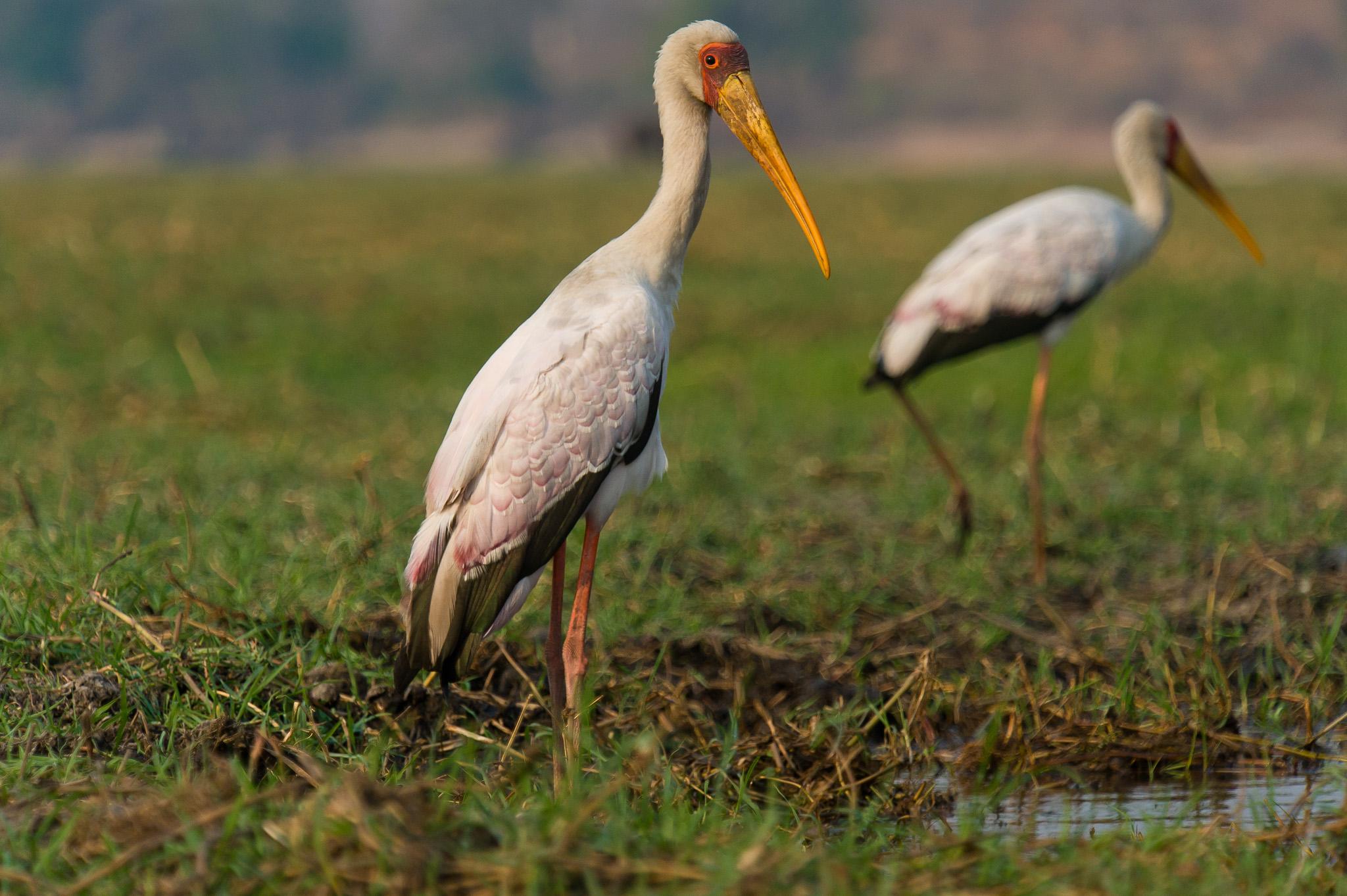 Yellowbilled Stork, Chobe NP, Botswana