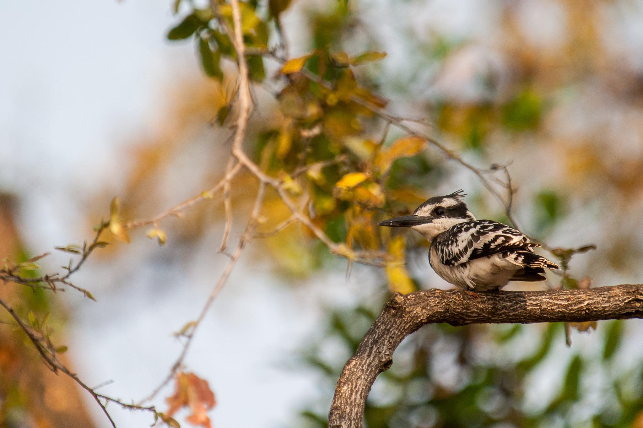 Pied Kingfisher, Chobe NP, Botswana
