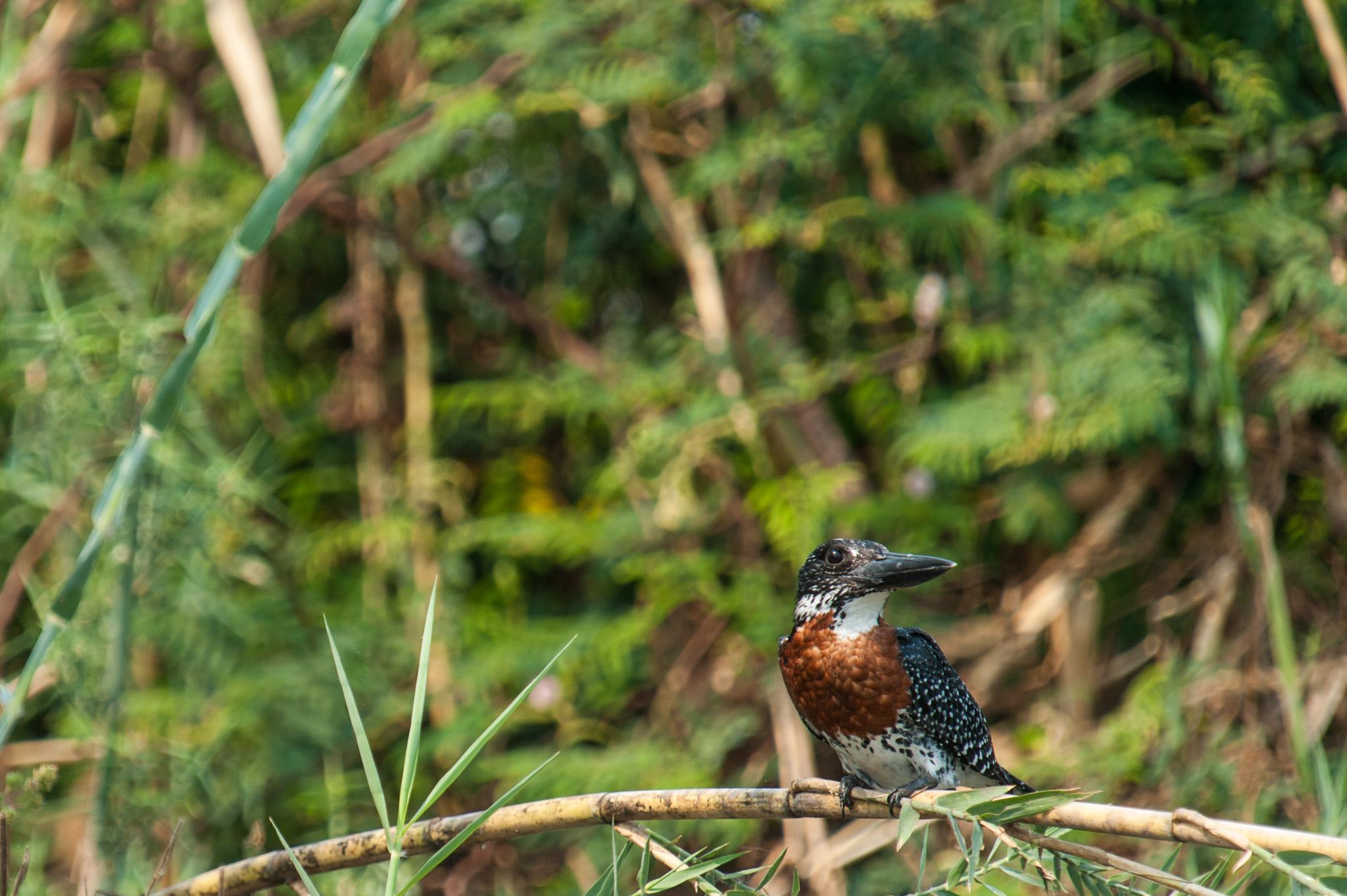 Male Giant Kingfisher, Zambezi River, Chobe NP, Botswana