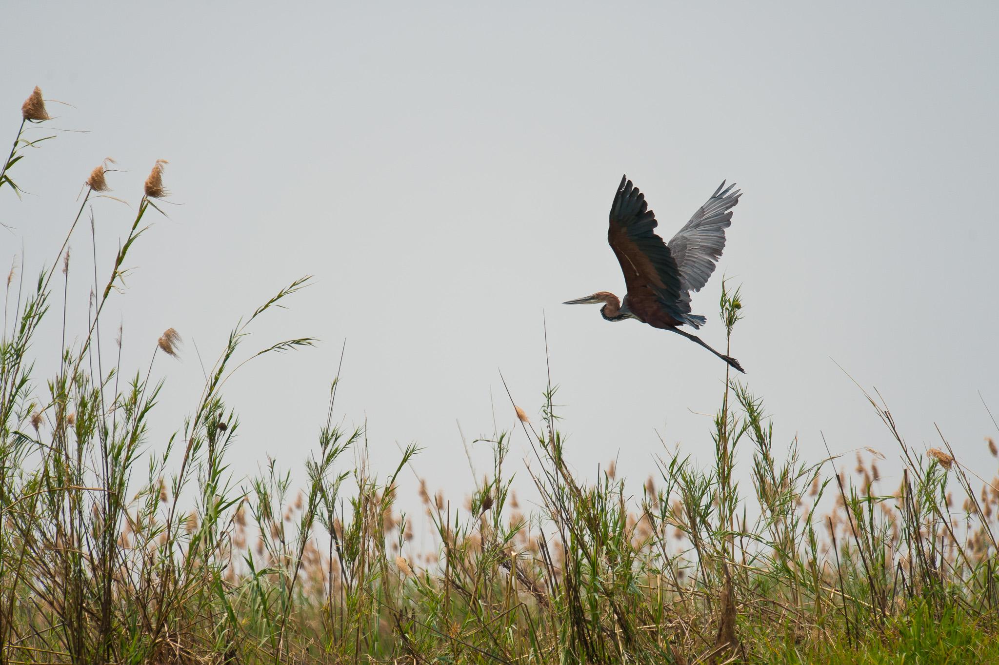 Goliath Heron, Zambezi River, Chobe NP, Botswana