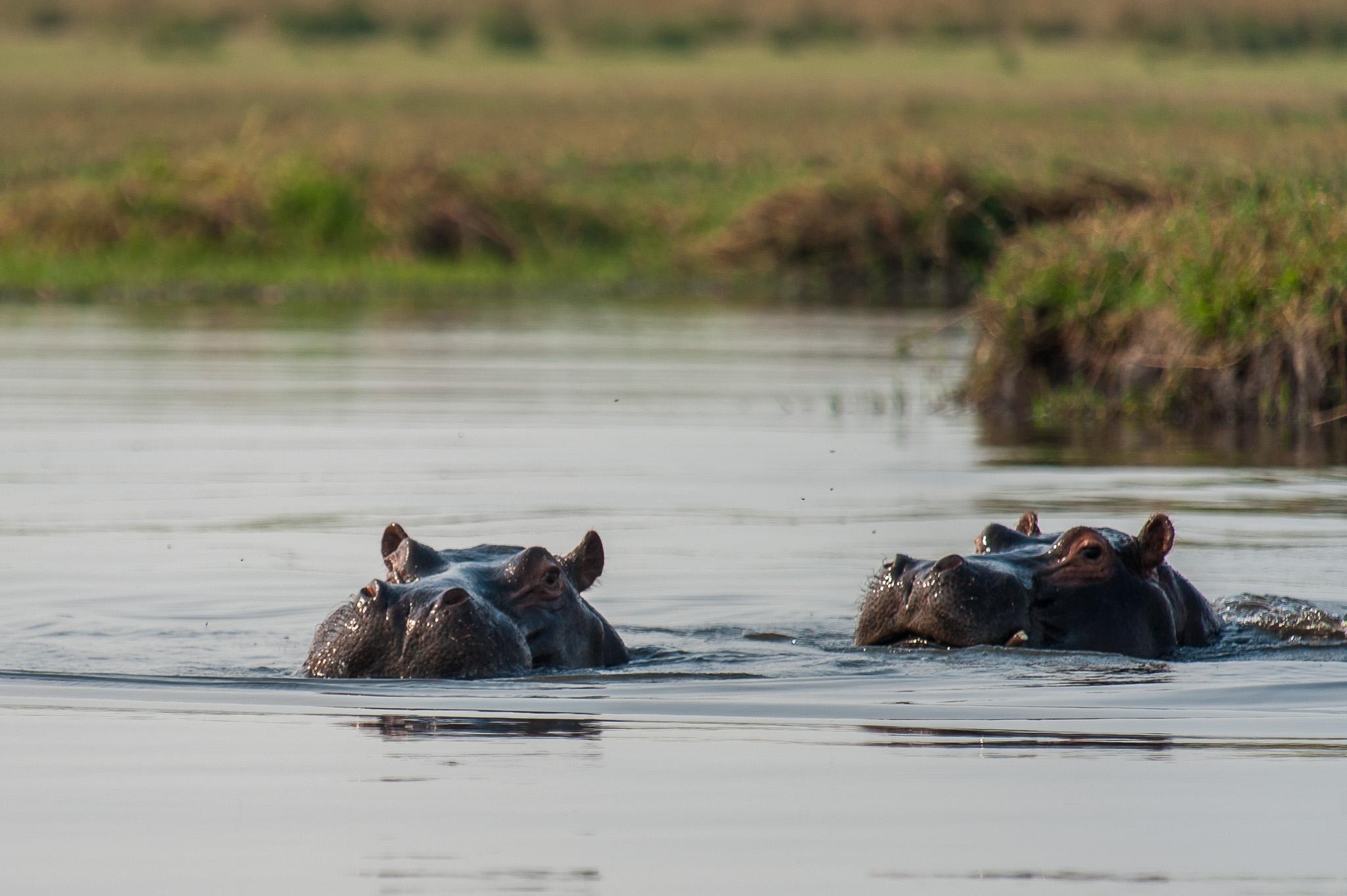 Hippopotamus, Chobe NP, Botswana