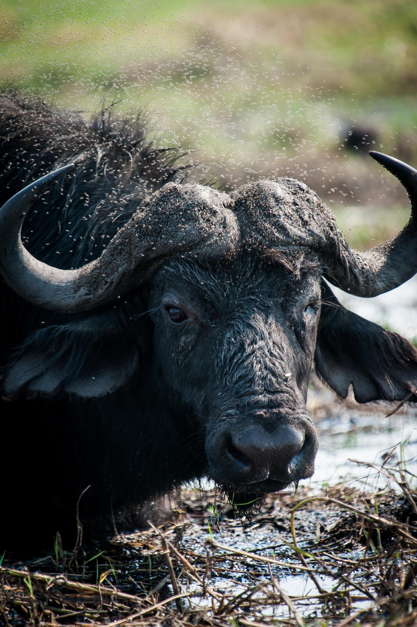 Buffalo, Chobe NP, Botswana