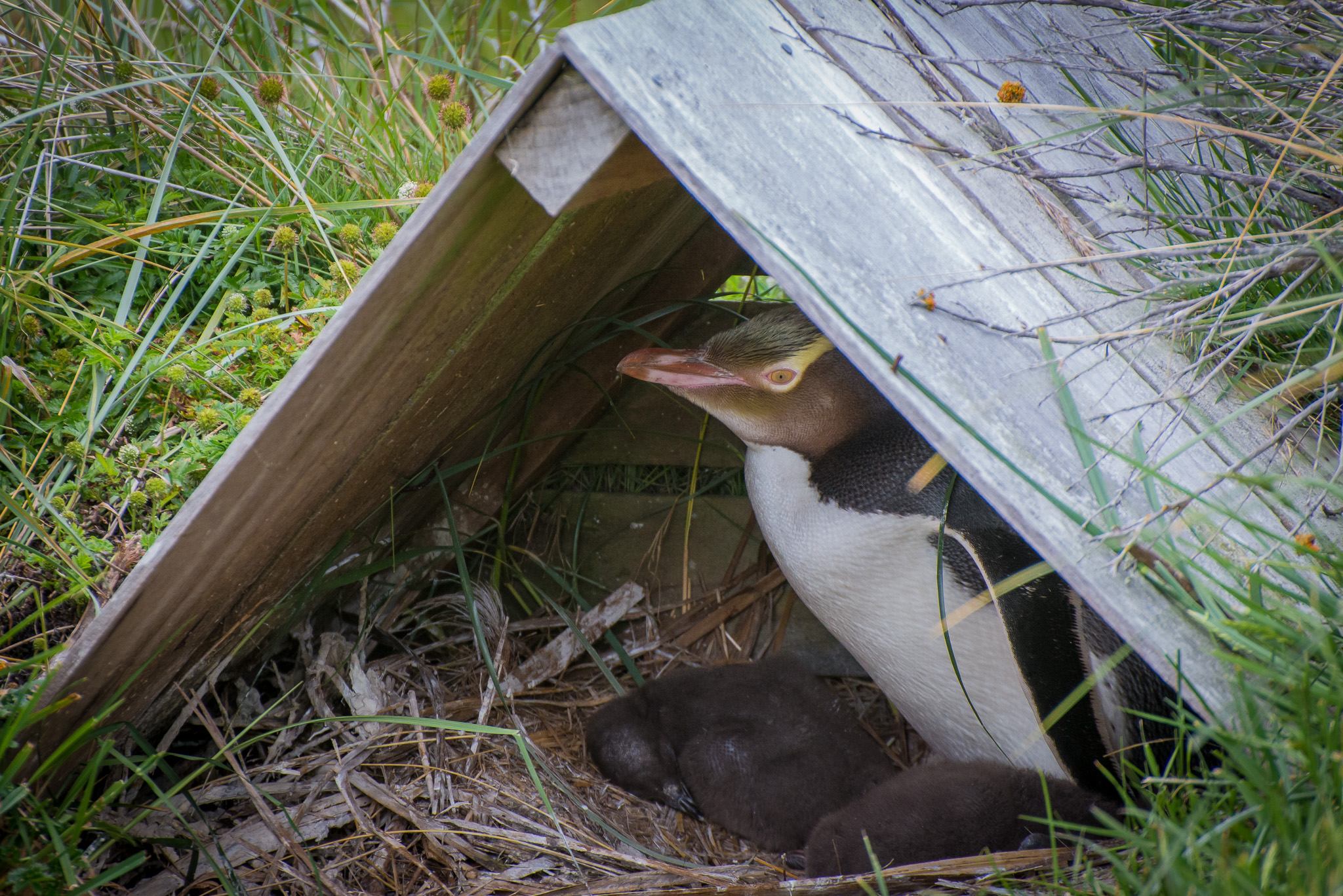 Yellow Eyed Penguins, Harington Point, South Island, New Zealand