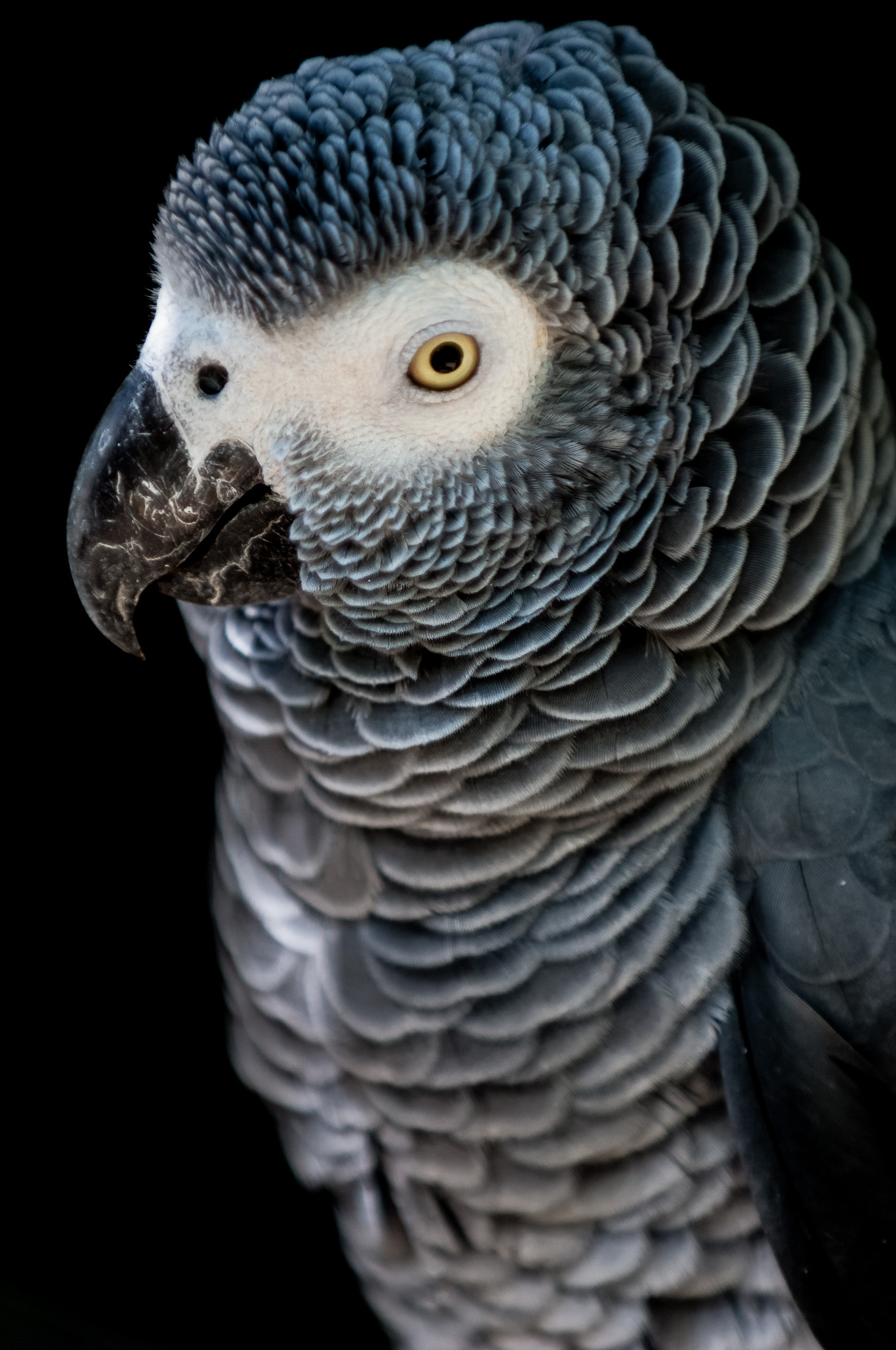 African Grey Parrot, Birds of Eden, Plattenburg Bay, South Africa