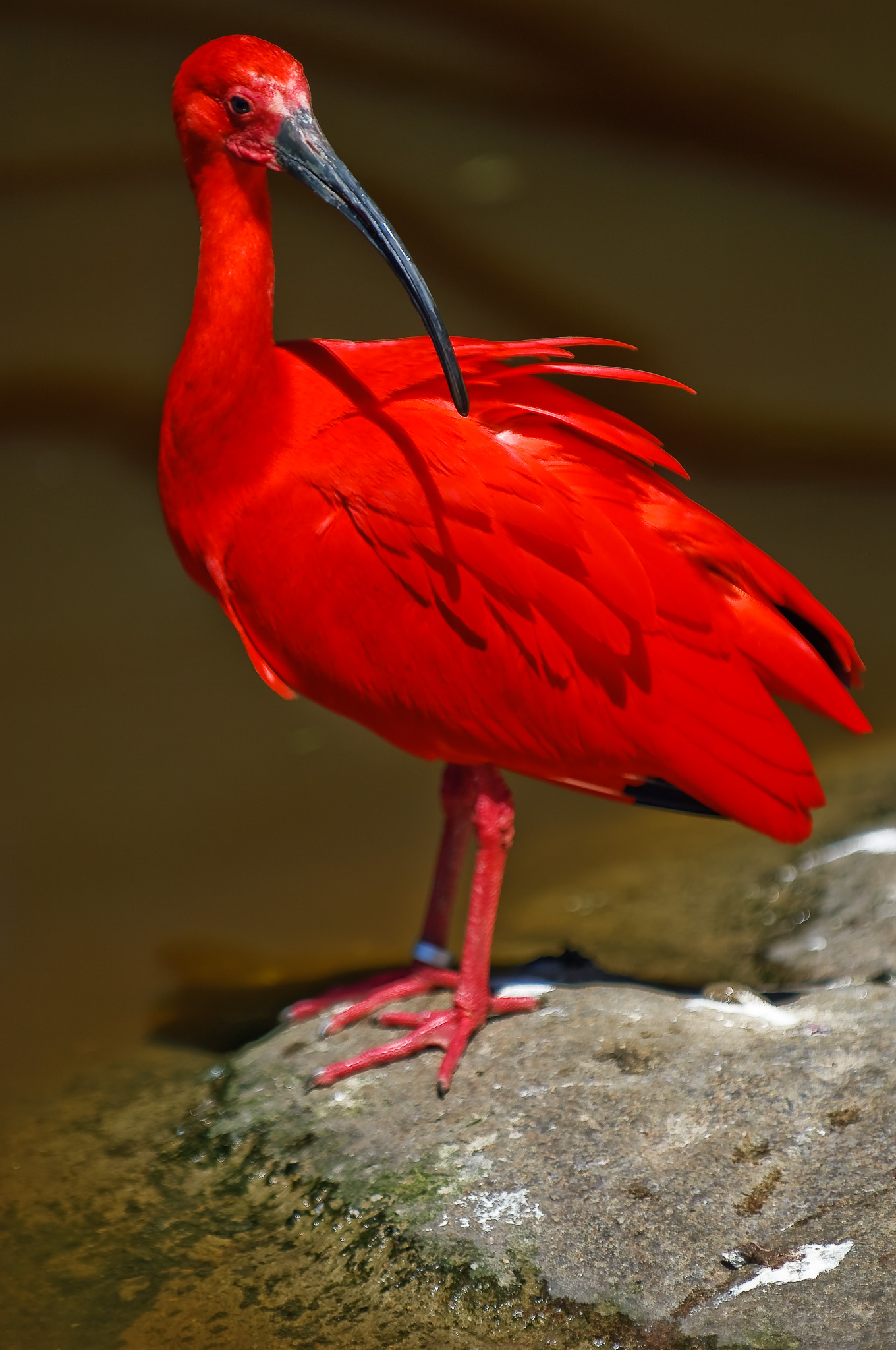 Scarlet Ibis, Birds of Eden, Plattenburg Bay, South Africa