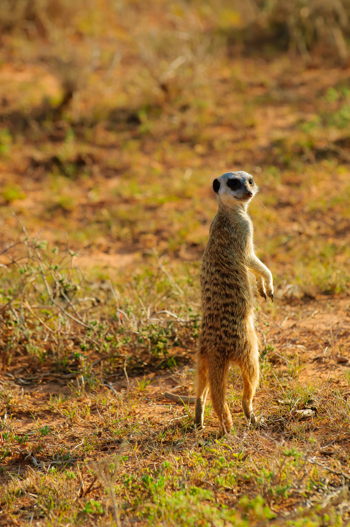 Suricate, Addo Elephant NP, South Africa