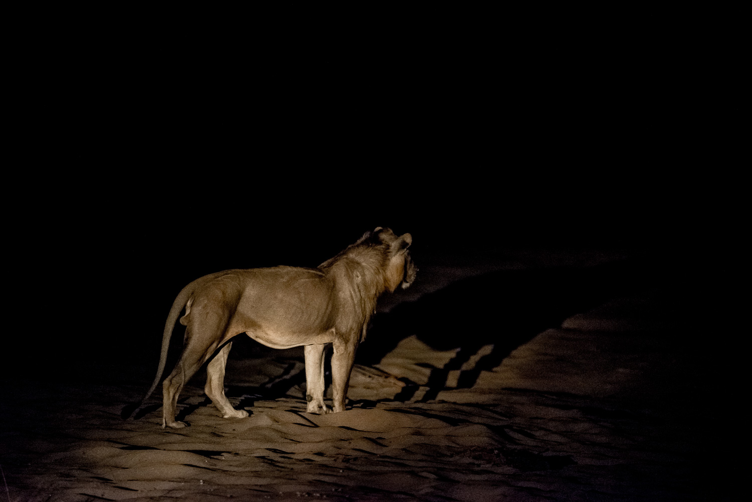 Male Lion, Bilimungwe Lodge, South Luangwa, Zambia