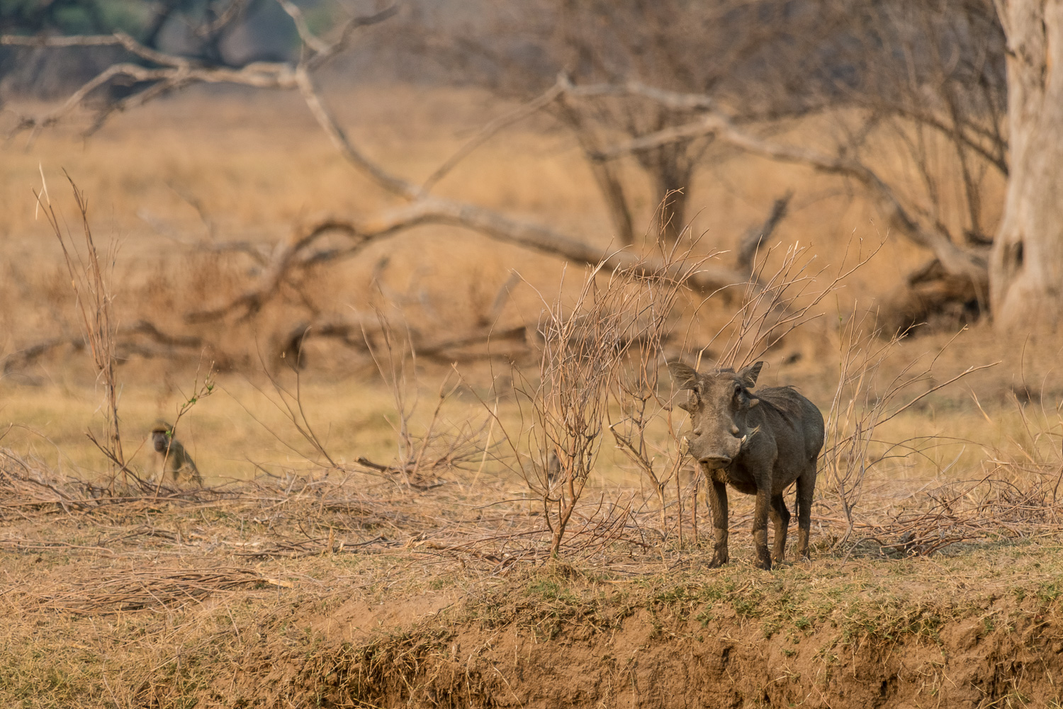 Warthog, Bilimungwe Lodge, South Luangwa, Zambia