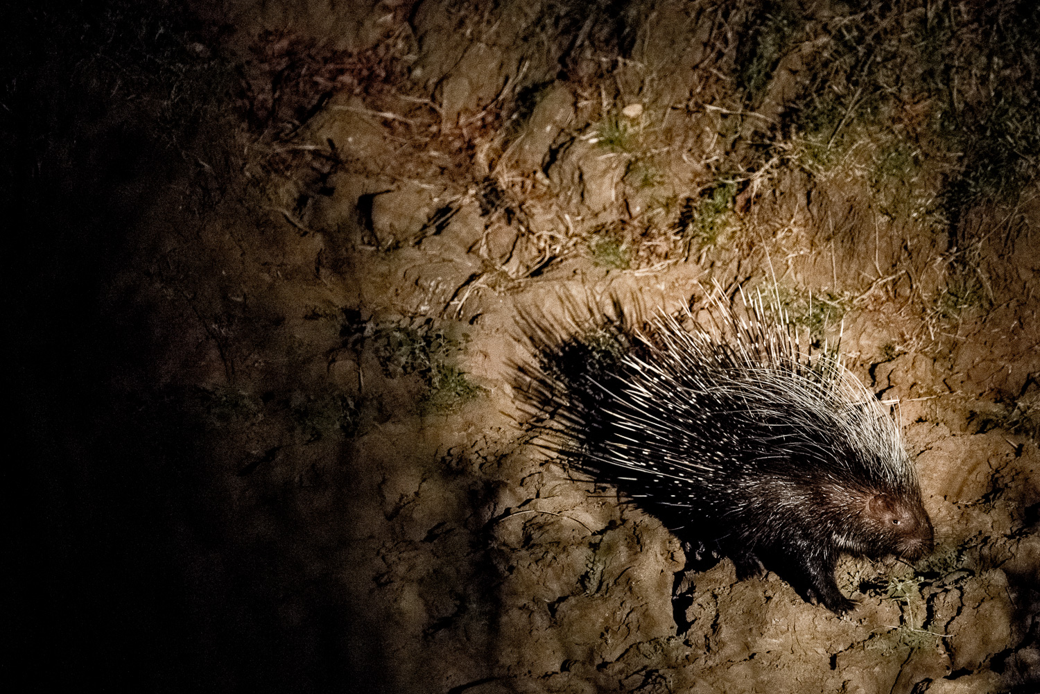 Porcupine, Bilimungwe Lodge, South Luangwa, Zambia