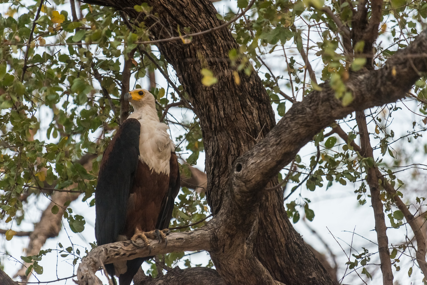 Fish Eagle, Bilimungwe Lodge, South Luangwa, Zambia
